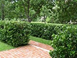Viburnum Suspensum Qty 40 Live Plants Evergreen Privacy Hedge