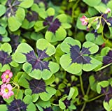 Oxalis Iron Cross Good Luck Plant - Fast Growing Year Round Color Indoors or Outdoors - 15 Robust Bulbs