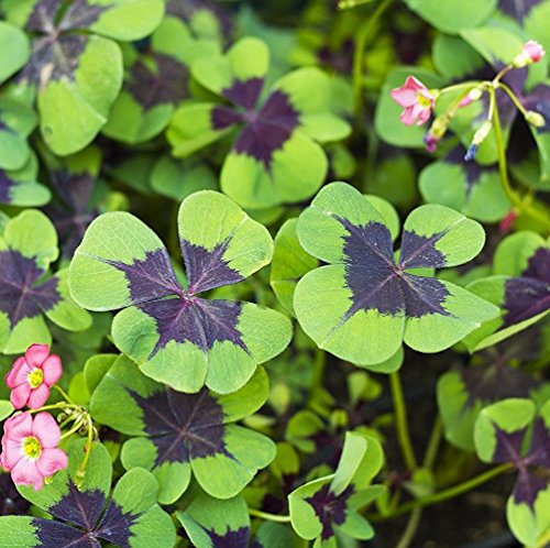 Crosses Grow Iron - Oxalis Iron Cross Good Luck Plant - Fast Growing Year Round Color Indoors or Outdoors - 15 Robust Bulbs