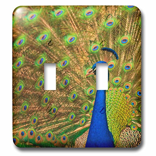 3dRose Danita Delimont - Birds - USA, Florida, St. Augustine, Peacock strutting in breeding plumage. - Light Switch Covers - double toggle switch - St In Outlets Augustine