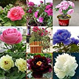 10 Seeds Tree Peony, Paeonia Suffruticosa, Shrub Seeds- Mixed