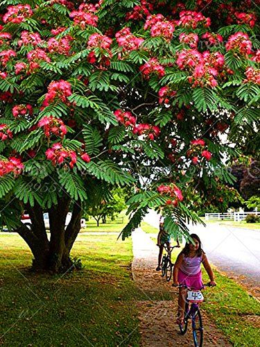 10pcs/Bag Albizia Julibrissin Tree Seeds(Mimosa/Persian Silk Tree)-Tree Potted bonsaiDIY Home gardenbig ()