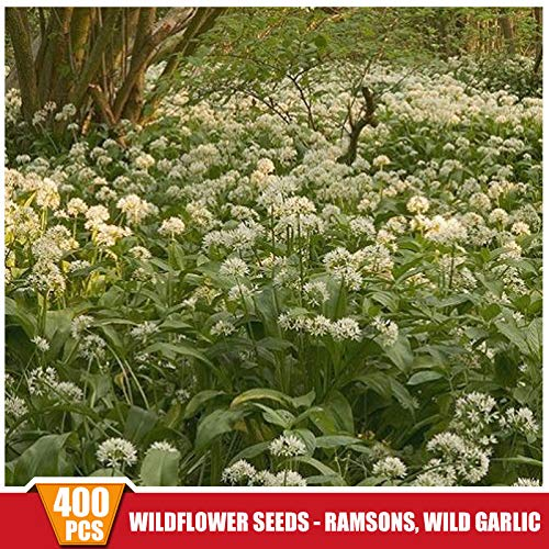 400pcs/pack Wild Garlic blubs Wildflower Seeds ramsons Allium ursinum Seeds New