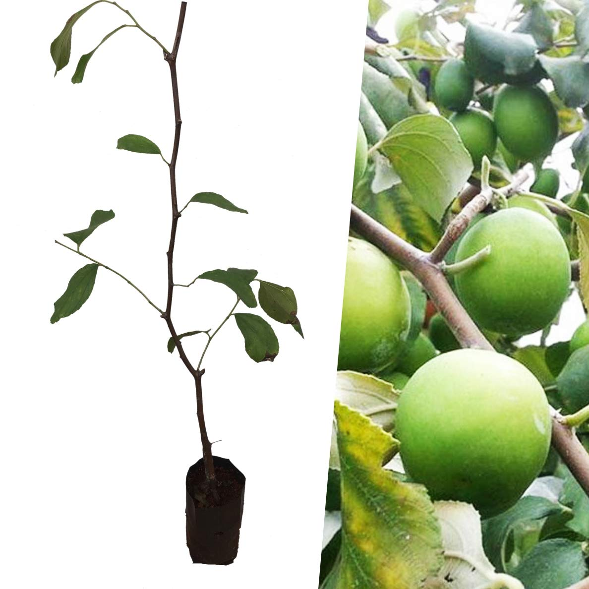 Thai Jujube grafted Tree Large Fruit Size New Variety''Milk-Jujube'' Tropical Fruit Plant from Thailand by Plant Indy