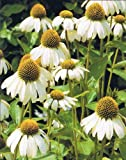 WHITE SWAN CONEFLOWER 25 SEEDS