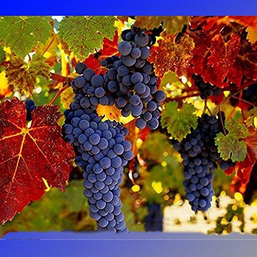 Best Garden Seeds Rare French Cabernet Sauvignon Grape Bush Organic Seeds, Professional Pack, 15 Seeds / Pack, Grape Wine Tasty Fruit ()