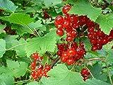 * RED CURRANT BERRY BUSH *Rare*SHOWY*Ornamental*E-Z GRO*15 seeds*FRUITS* #1223