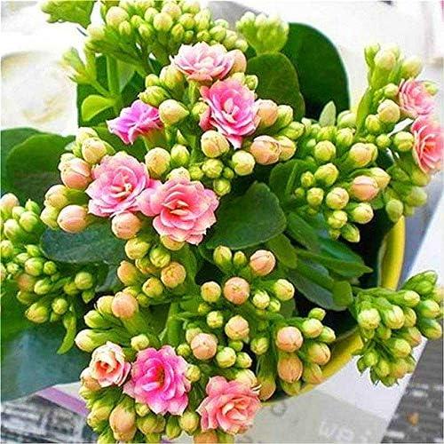 Green Seeds Co. Magic Bonsai Red Longevity plantas de flores Kalanchoe Semente Flor Novela Plantas Para Jardín de DIY bonsai 100 Partículas/Pac: Purple: Amazon.es: Jardín