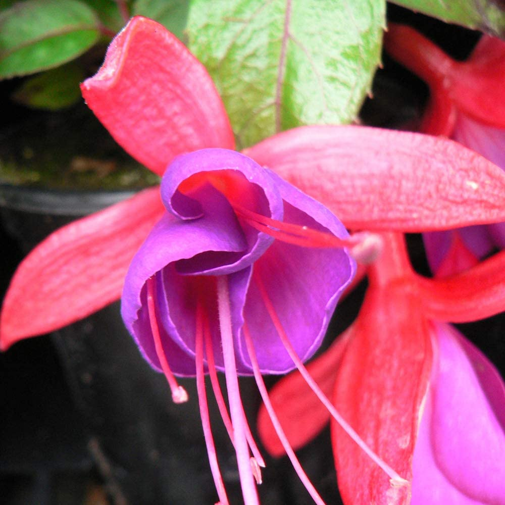 Fuchsia Doctor Foster Hardy Perennial Deciduous Upright Shrub Scarlet Red and Violet Flowers Ideal for Borders Pots and Containers 1 x 9cm Pot by Thompson and Morgan