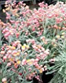 100 APRICOT & PEACH STRAWFLOWER Mix Coral Paper Daisy Xerochrysum Flower Seeds