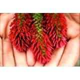 Crimson Clover Seed: (NON-GMO) Coated & Inoculated - 1 Lb.
