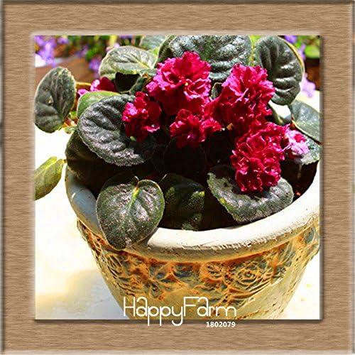 Grandes 10 PCS / Lot variedad de colores violeta Semillas plantas de jardín de flores de color violeta perenne hierba matthiola Incana Semillas, KIE5KP # 2: Amazon.es: Hogar