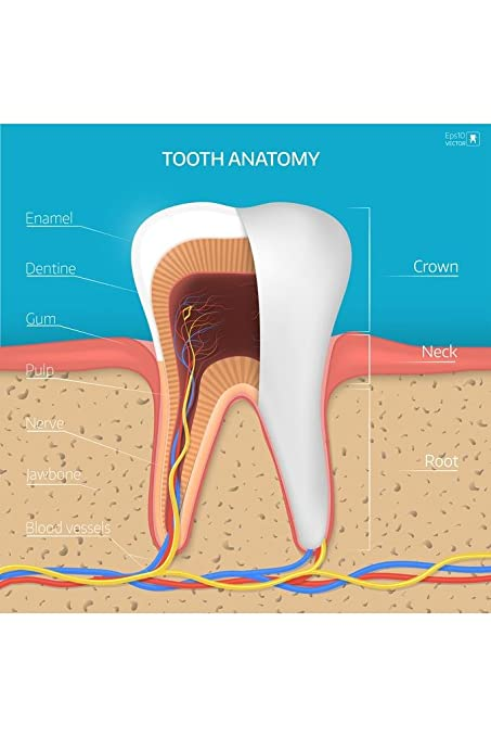 Amazon.com: Human Tooth Structure Cross Section Anatomy Diagram ...