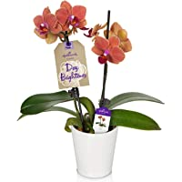 Hallmark Flowers Orchid Salmon in 3-Inch White Ceramic Container
