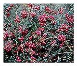 Gaultheria mucronata Mulberry Wine - Wintergreen, Plant in 9cm Pot