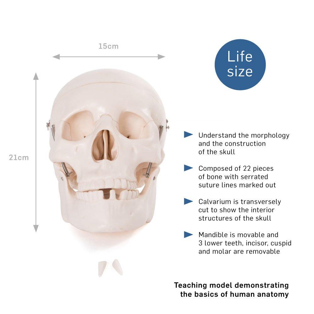 66fit Anatomical Life Size Human Skull - Medical Educational ...