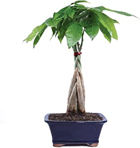 "Brussel's Bonsai Live Money Indoor Bonsai Tree-4 Years Old 10"" to 14"" Tall with Decorative Container,"
