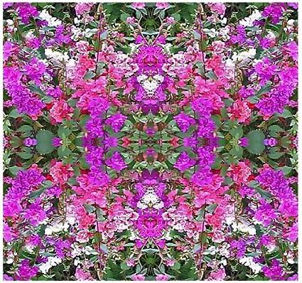 Amazon.com: 5.000 Mountain Garland Mix Flor Semillas Clarkia ...