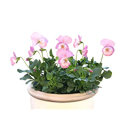 Homegrown Packet Pansy Seeds, 175 Seeds, Pink Halo Pansy : Garden & Outdoor
