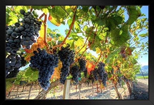 grapes on a vine - 7