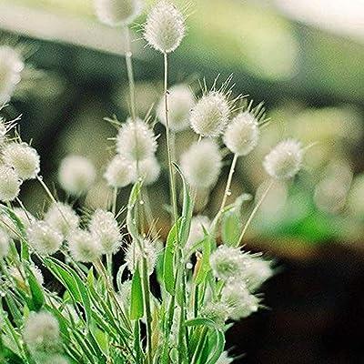 200PCS Lagurus Ovatus Seeds Bonsai Ornamental Grass Natural Herb Plant Beautiful Grass for Planting Perennial Flowers Potted Garden Plant : Garden & Outdoor