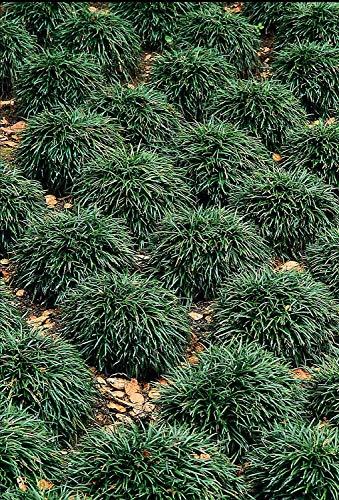 Dwarf Mondo Grass Qty 80 Live Plants Shade Loving Evergreen Ground Cover by Florida Foliage (Image #7)
