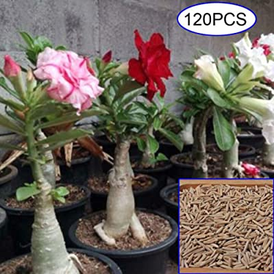 Mggsndi 120Pcs Mixed Adenium Desert Rose Flower Seeds Perennials Garden Balcony Decor - Heirloom Non GMO - Seeds for Planting an Indoor and Outdoor Garden 120Pcs Desert Rose Seeds : Garden & Outdoor