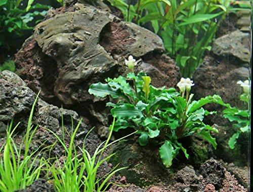 Pictures of Aquarium Plants Factory 3 x Bucephalandra Green 1