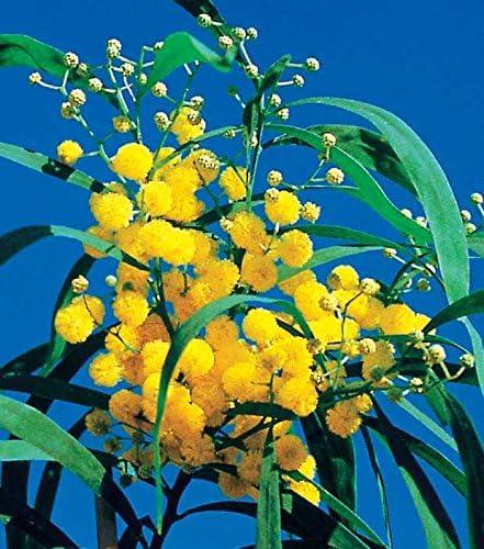 Willemse France Mimosa des 4 Saisons