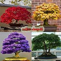 Portal Cool Acero Rosso: Semi di acero giapponese Bonsai, rosso, giallo, verde, viola, blu, per il giardino