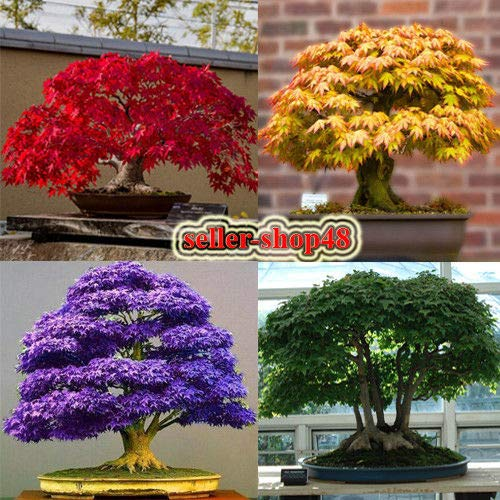 (Green Maple: Japanese Maple Seeds Bonsai Tree, red, Yellow, Green, Purple, Blue, for Garden)