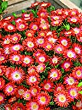 Perennial Farm Marketplace Delosperma dyeri (Ice Plant) Groundcover, 1 Quart, Flowers in Shades of Salmon, Coral and Orange