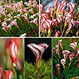 New 100PCS Rare Oxalis Versicolor Flower Seeds for Home Garden