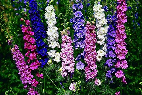 High Delphinium Mix Seeds Annual Flowers for Planting Organic Outdoor Non GMO 50 Seeds (Delphinium Seeds)