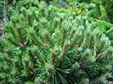 "A 0.2g (Approx. 40) Mountain Pine Seeds ""Pinus Mugo"" Excellent for Growing on the Slopes and As a Bordering Plant. Lovely Scented 'Fresh Seeds - Best Before 07.2019!'"