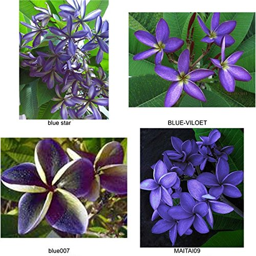 """MIXED 4 CUTTING"" BLUE FRAGRANT PLUMERIA'S CUTTING WITH ROOTED 7-12 INCHES REGISTERED TRACK ONLINE 100%GUARANTEE SATISFICATION AND MONEY BACK"