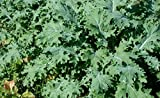 """ORGANIC HEIRLOOM KALE (BRASSICA NAPUS) """"WHITE RUSSIAN"""" THE MOST WINTER HARDY AND FAST GROWING TOLERATES COLD WET SOILS BECOMING SWEETER IN COLD WEATHER APPROX 225SEEDS"""
