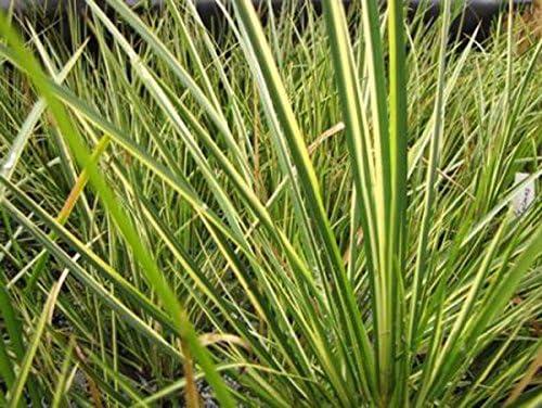 gestreift Teichpflanze Teichpflanzen Teich Kalmus