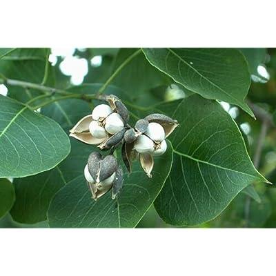 5 Live Plant Popcorn Chinese Tallow Tree Outdoor Garden tkolal : Garden & Outdoor