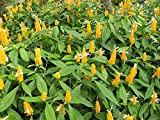 PlantVine Pachystachys Lutea, Golden Shrimp Plant, Lollipop Plant - Large - 8-10 Inch Pot (3 Gallon), Live Plant