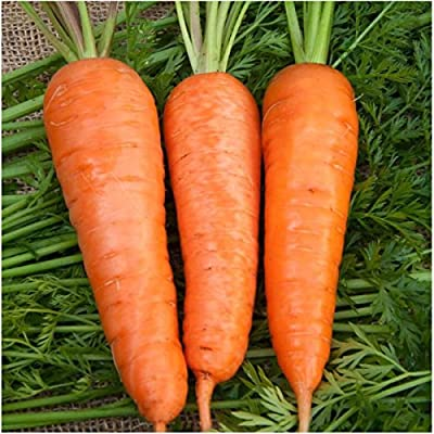 Package of 800 Seeds, Royal Chantenay Carrot (Daucus carota) Non-GMO Seeds by Seed Needs