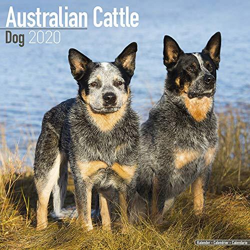 Australian Cattle Dog Calendar 2020 - Dog Breed Calendar - Wall Calendar 2019-2020