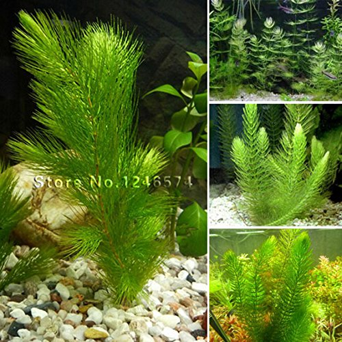 Promotion!!! 500 seeds mixed aquarium fish tank grass seeds water Aquatic plant seed