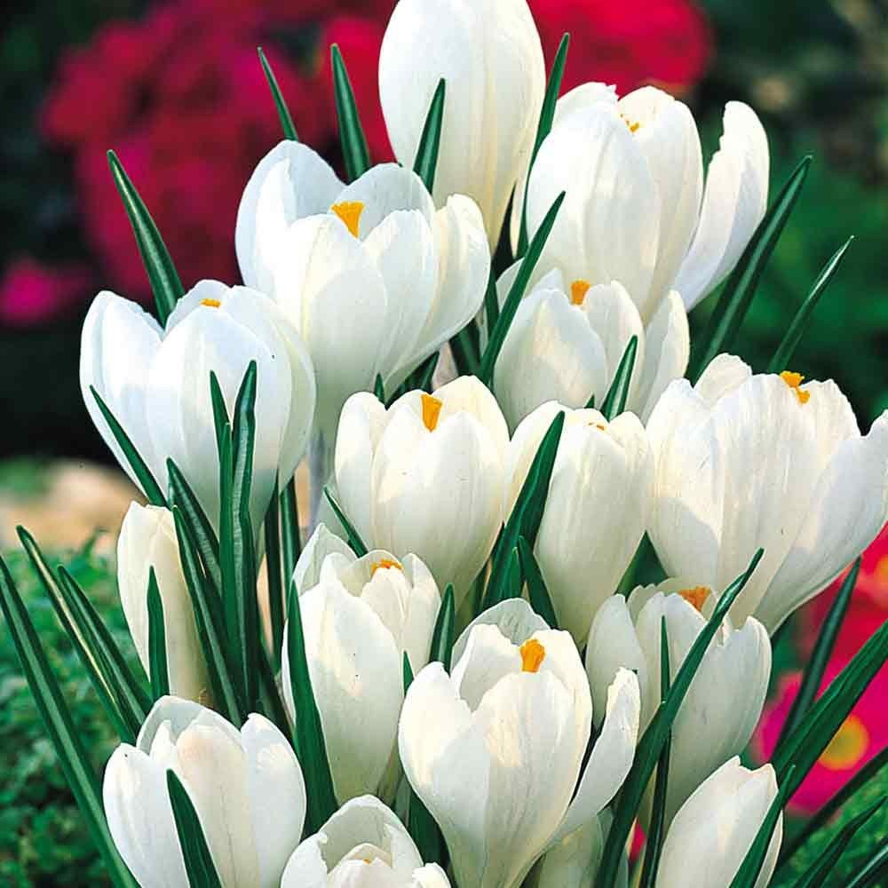Bolly Bulbs - White Crocus Chrysanthus - Miss Vain (12 Bulbs) Bolly Bulbs®