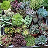 """JIIMZ 40 Assorted 4"""" Inch Succulents in Their Plastic Containers the Perfect Wedding Favor"""