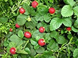 50 seeds - Indian Mock Strawberry Seeds (Duchesnea Indica) Perennial Ornamental Plant