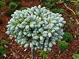 50pcs/lot rare Korean Fir seeds, Abies koreana 'Silberperle' Miniature Korean Fir tree bonsai flower tree seeds garden plant pot 1