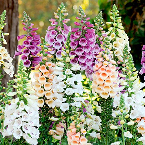 Foxglove Flower Seeds, 5500+ Premium Seeds, Beautiful & Full of Color! Fantastic Addition to Your Garden! (Isla's Garden Seeds), 85-90% Germination Rates, Highest Quality Seeds