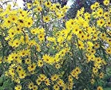 250 MAXIMILIAN (Prairie) SUNFLOWER Helianthus Maximiliani Flower Seeds