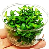 Staurogyne Repens Carpet Foreground Live Aquarium Plants Vitro TC Cup for...